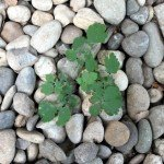 Pflanze zwischen Kieselsteinen, Schöllkraut